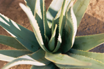 Aloe Vera, More Than a Plant